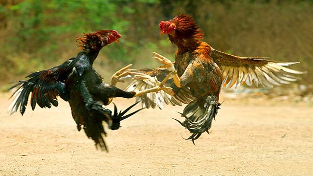 Bandar Judi Sabung Ayam Terpopuler
