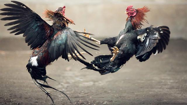 Cara Daftar Sabung Ayam Online