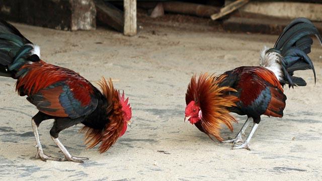 Tutorial Baru Sabung Ayam Online Yang Banyak Untungnya