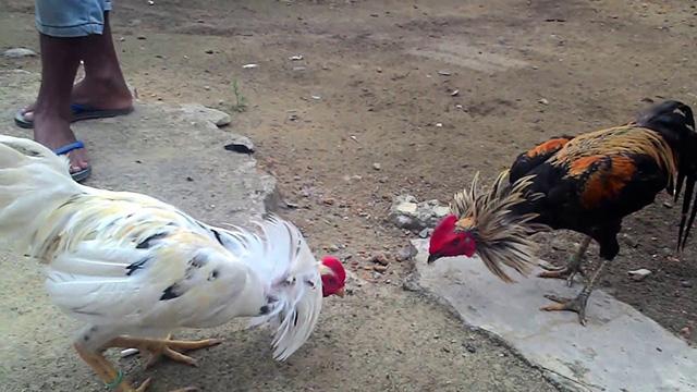 Situs Taruhan Ayam Promo Terbesar 2018