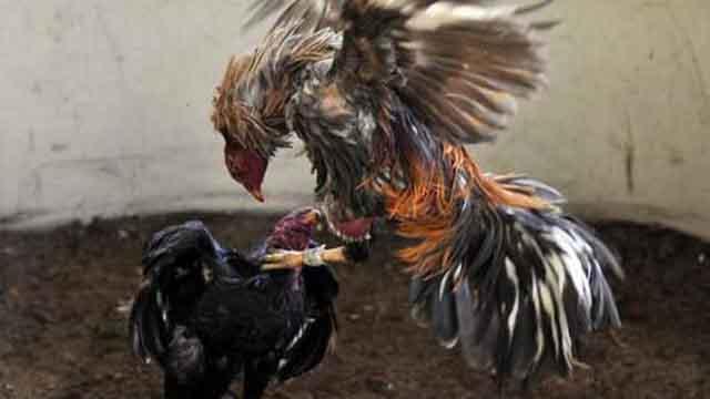 Game S128 Adu Ayam Online Terbaik Di Indonesia