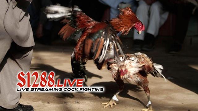 Bermain Judi Sabung Ayam di Agen yang Tepat