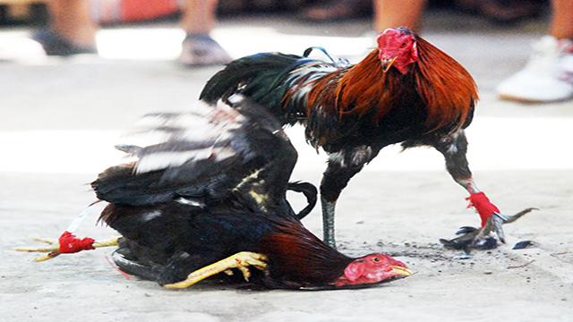 Cara Menang Bermain Sabung Ayam Online S128